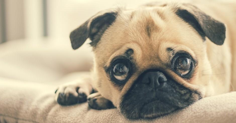 cachorro (Foto: Pexels)