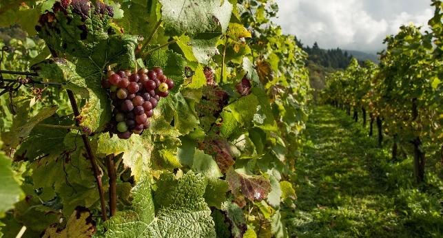 Cacho de uva em uma vinha de Portugal