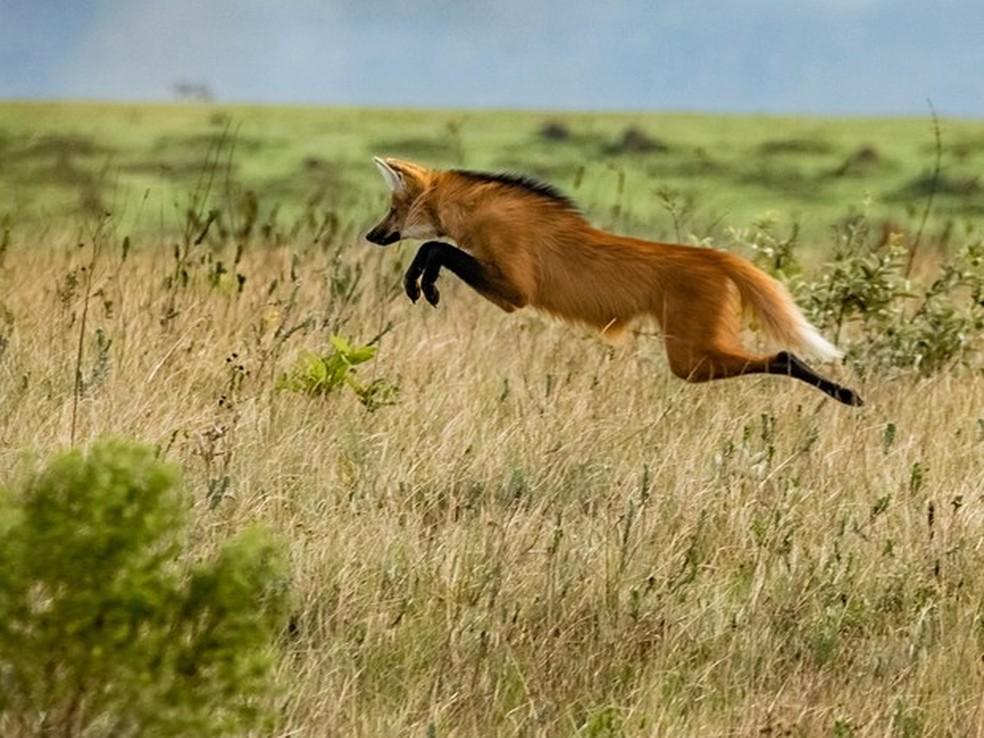 """Momento de caça do lobo-guará registrado na Serra da Canastra flagra hábito """"saltador"""" do animal  — Foto: João Roberto Cortez/VC no TG"""