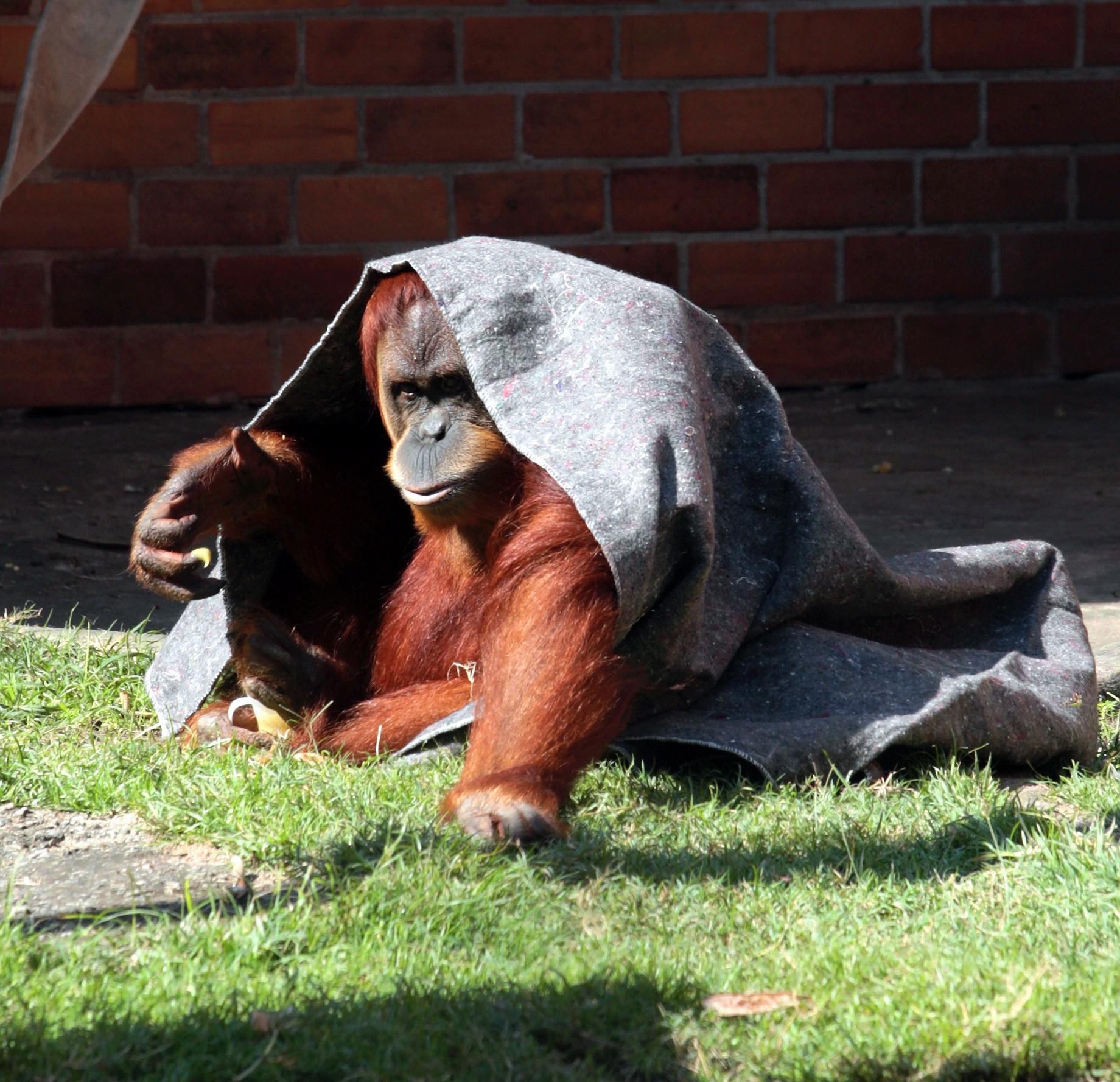 Orangotango se cobre em dia frio e ensolarado no zoológico do Rio, em 2011