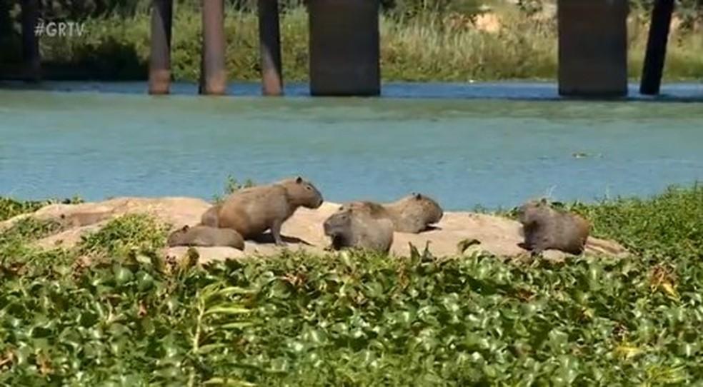 Capivaras em pedra no meio do Rio São Francisco entre as cidades de Petrolina e Juazeiro (Foto: Reprodução/ TV Grande Rio)