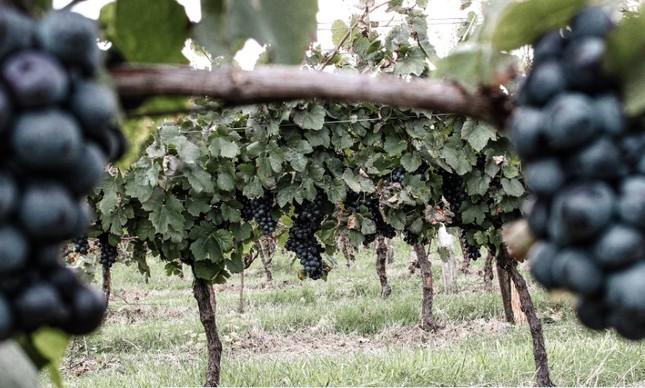 O vinhedo de Gamay na Campanha Meridional