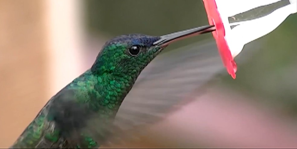 Beija-flor se alimenta a cada 15 minutos (Foto: BBC Brasil)