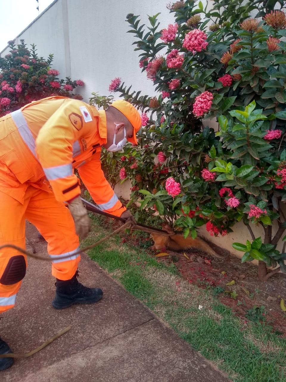Corpo de Bombeiros resgata tamanduá na área urbana de Uberlândia