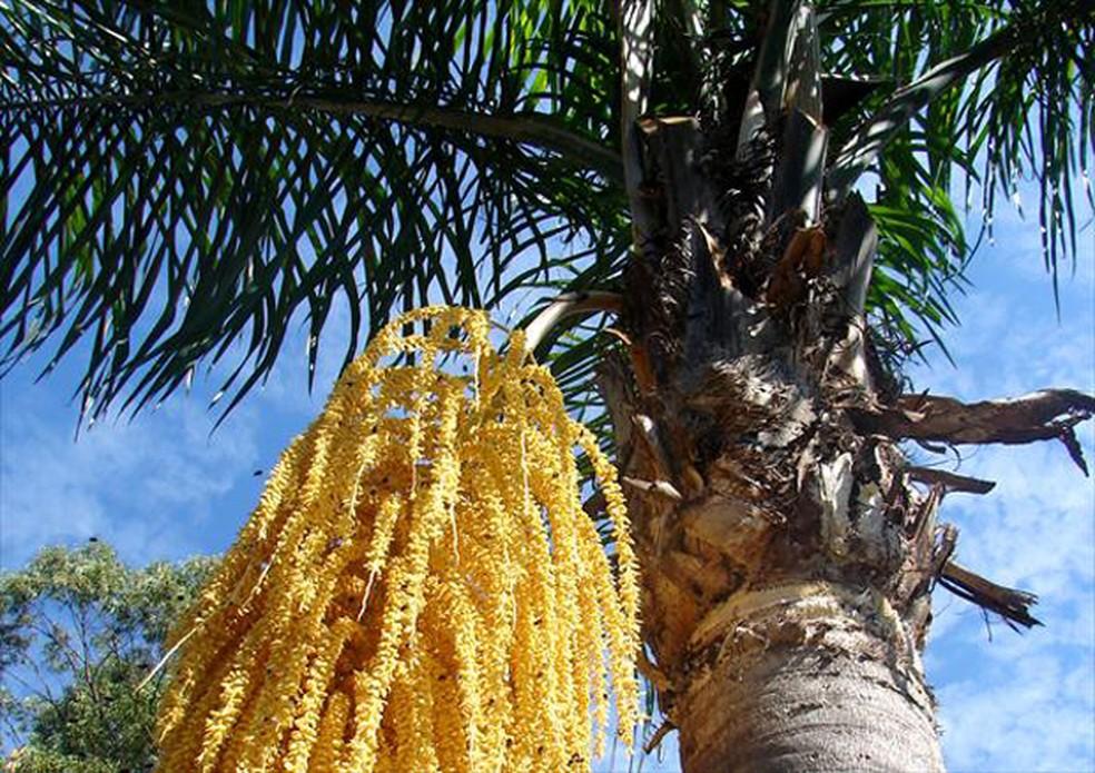 O jerivá ocorre principalmente na Mata Atlântica e funciona bem em jardins amplos — Foto: Rafael Paranhos Martins