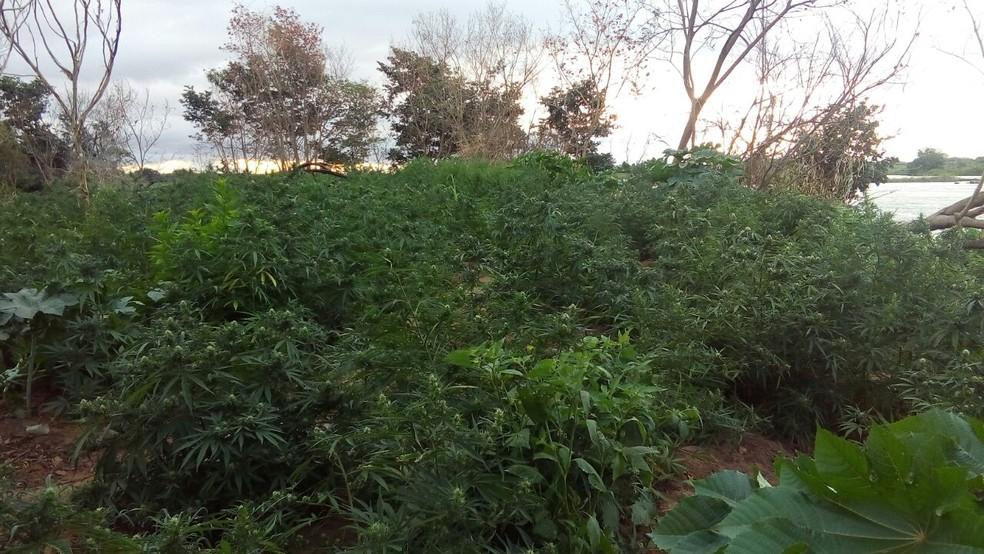 Plantação foi descoberta pelo setor de inteligência da PM (Foto: Divulgação/Secretaria de Segurança Pública)