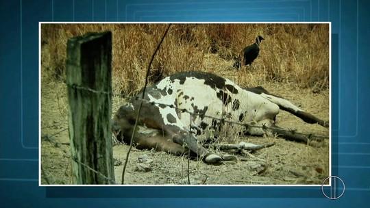Estiagem no Norte e Noroeste do Rio mata mais de 20 mil cabeças de gado