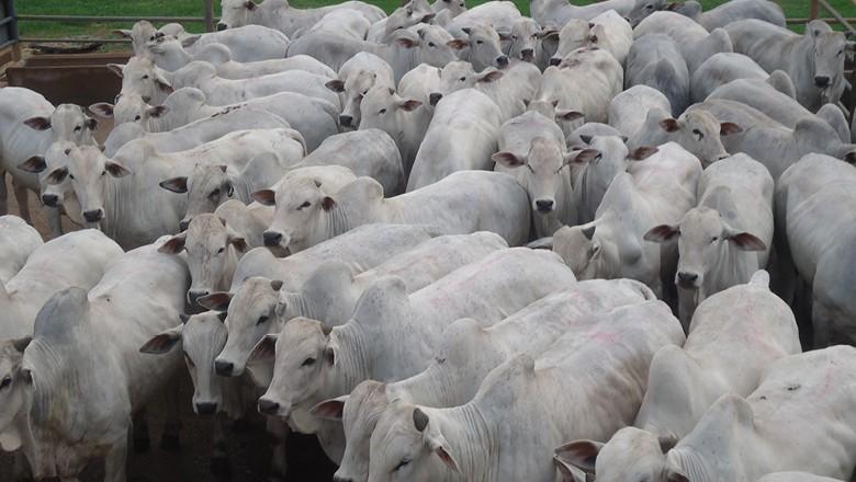 Somente em 2019, mais de 18 mil animais foram avaliados no Circuito Nelore (Foto: Divulgação)