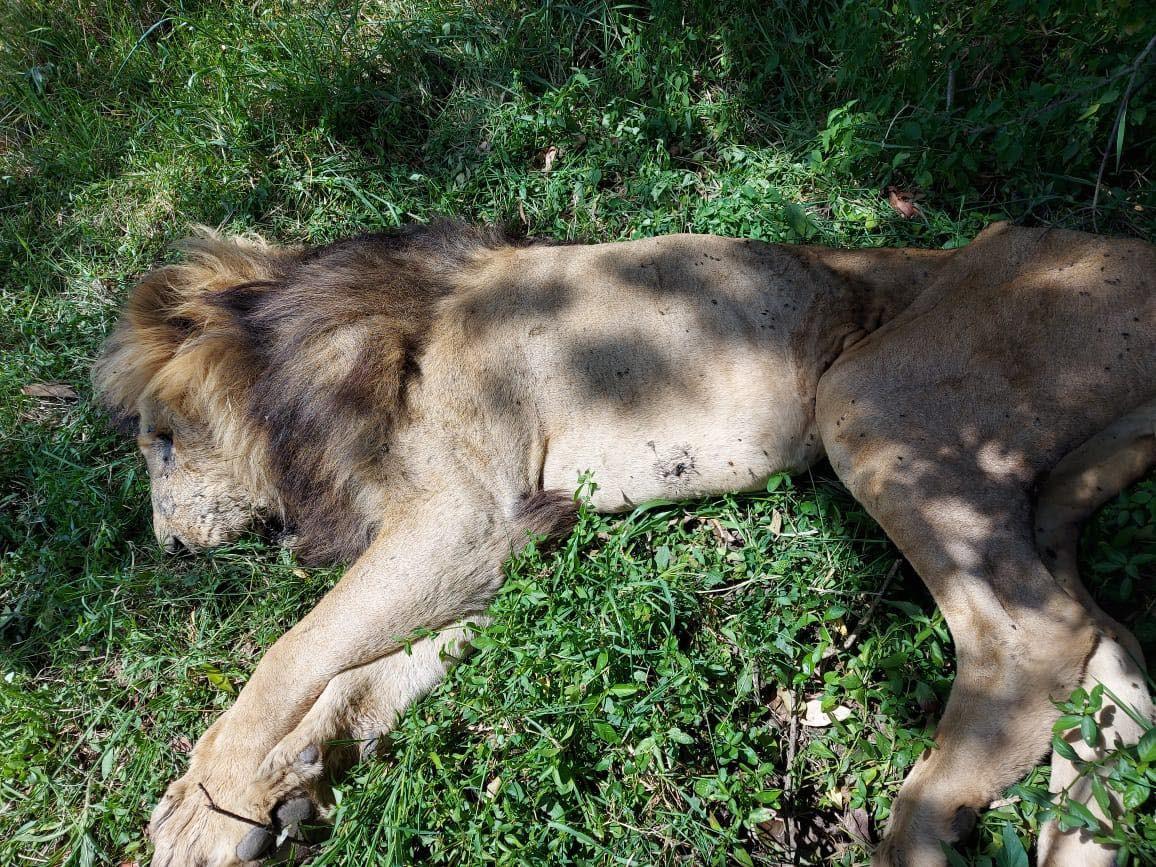 A foto divulgada pelos responsáveis pela Reserva Nacional de Maasai Mara, no Quênia, para noticiar a morte de Scarface (Foto: Facebook)