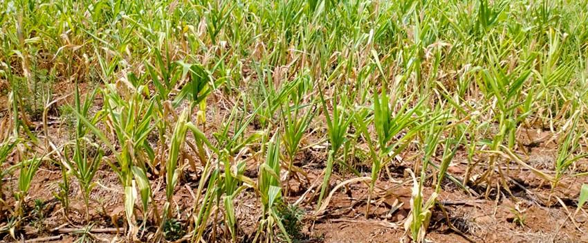 Quebra na safra de grãos em SC (Foto: Faesc/Divulgação)