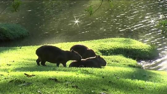 Secretaria do Meio Ambiente autoriza abate de 40 capivaras em condomínio em Itatiba, SP