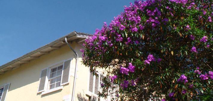 Flores das árvores quaresmeira enfeitam ruas de Blumenau entre a quaresma e a Páscoa; FOTOS