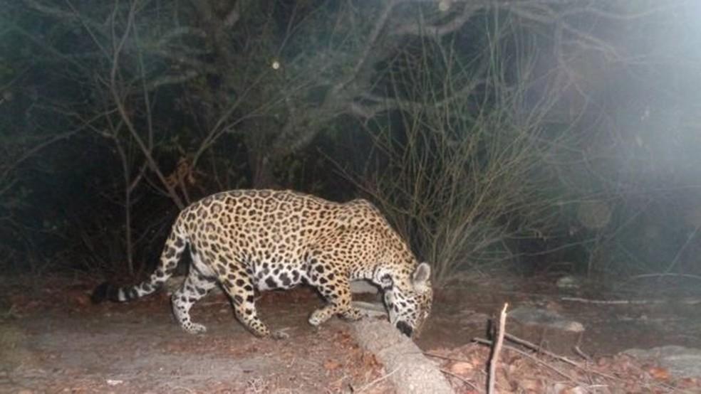 Conflitos com o ser humano, caça ilegal e o aumento da produção de energia eólica têm influenciado na redução do número de animais no bioma do Nordeste brasileiro. — Foto: Roland Brack/Divulgação