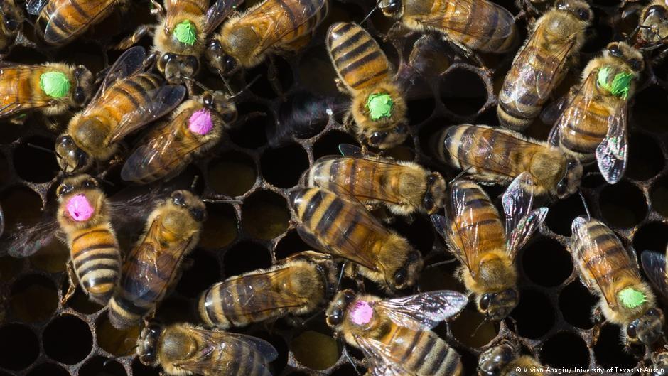 Abelhas marcadas para morrer. (Foto: Universidade do Texas)