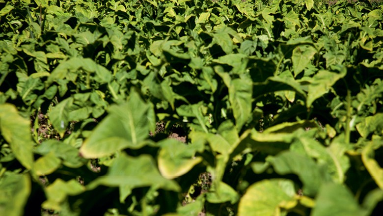 Plantação de Fumo (Foto: Marcelo Curia / Editora Globo)