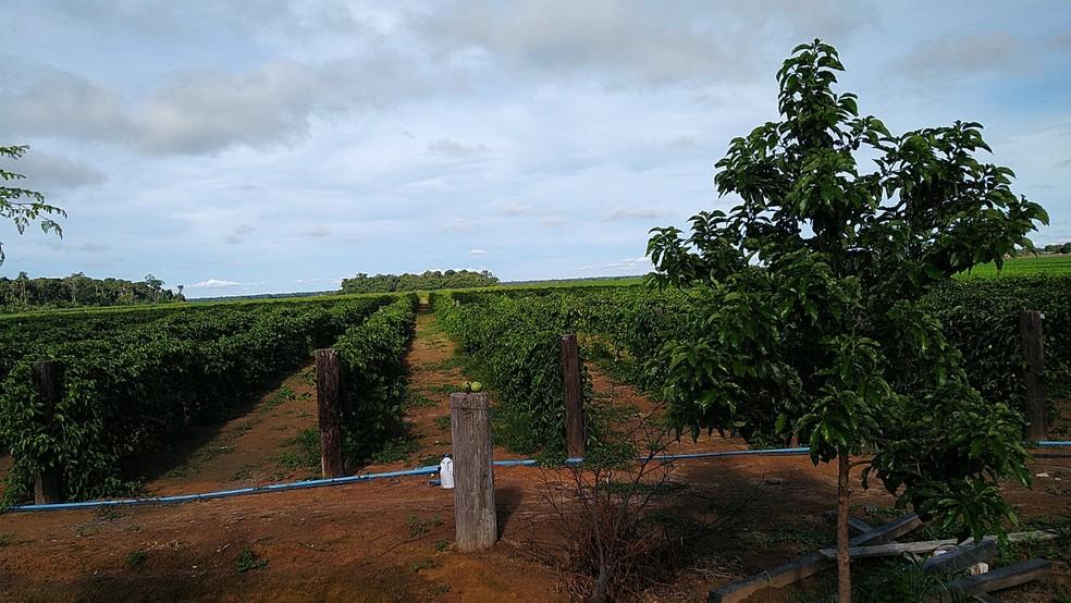 Cultivo do fruto custa em torno de R$ 17 mil por hectare — Foto: Pedro Nogueira/Arquivo pessoal