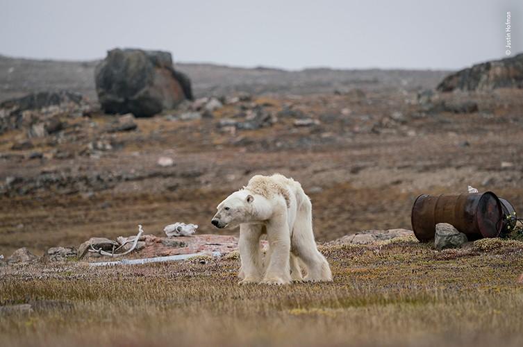 Justin Hofman capturou a cena em que um urso polar bastante magro e debilitado procura por comida no Ártico Canadense (Foto: Justin Hofman)