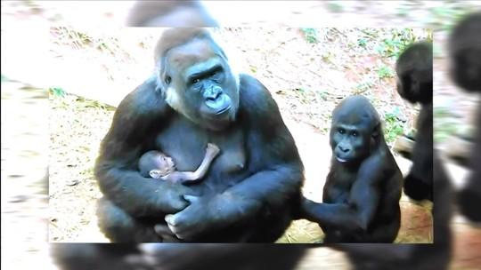 Vote e escolha o nome do novo gorila do Zoológico de Belo Horizonte
