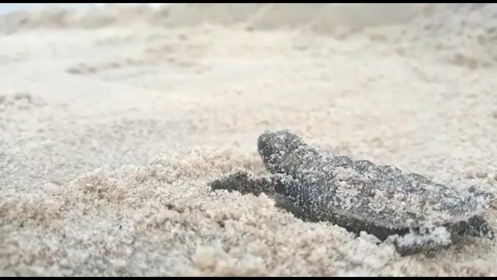 Litoral do Rio Grande do Norte abriga a maior densidade de bolsões de desovas de tartaruga-de-pente em todo o Atlântico Sul — Foto: Reprodução/TV Globo