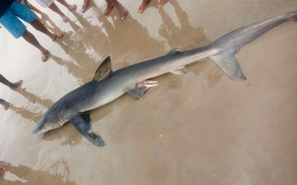 Tubarão foi encontrado morto em praia no sul da Bahia  (Foto: Arquivo Pessoal)