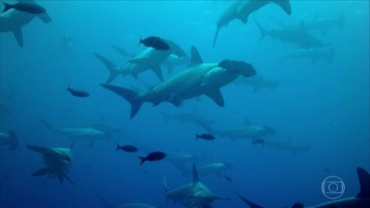 Cientistas nadam no meio do maior cardume de tubarões-martelo do mundo, em Galápagos