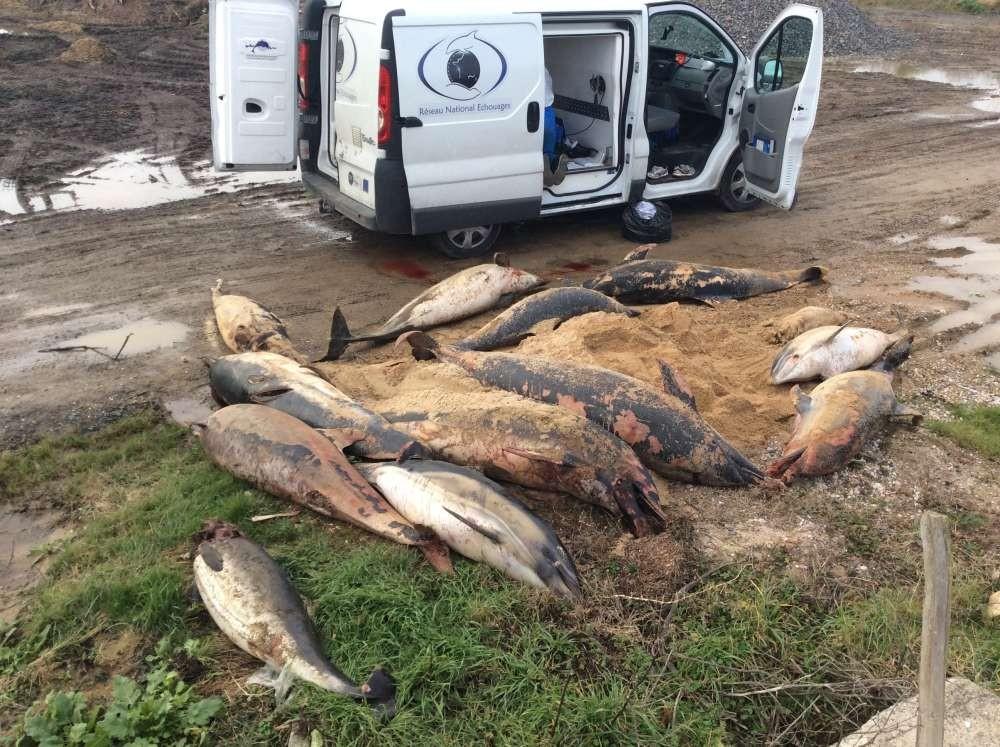 """90% dos corpos encontrados tinham sinais de morte e """"níveis extremos de mutilação"""" relacionados à capturas em redes de pesca.  (Foto: Observatório Pelagis / Université de La Rochelle)"""