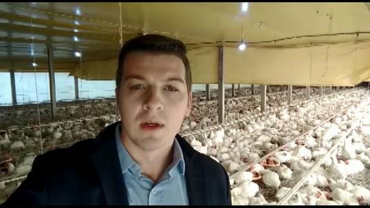 Frangos começam a morrer em granjas por falta de ração