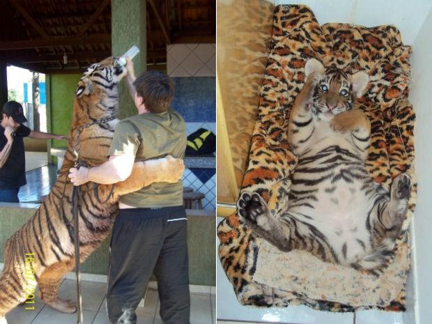 O dono dos animais tem autorização do Ibama para cuidar de felinos em extinção, vítimas de maus tratos e abandono. (Foto: Arquivo Pessoal)