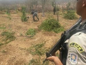 Durante erradicação fouve troca de tiros com a Polícia Militar (Foto: Divulgação / Polícia Militar)