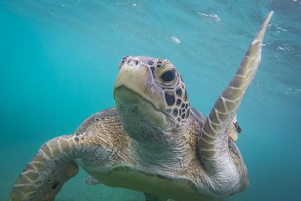 Tartaruga se aproxima da câmera durante mergulho com snorkel na Praia do Sueste, em Fernando de Noronha — Foto: Fábio Tito/G1