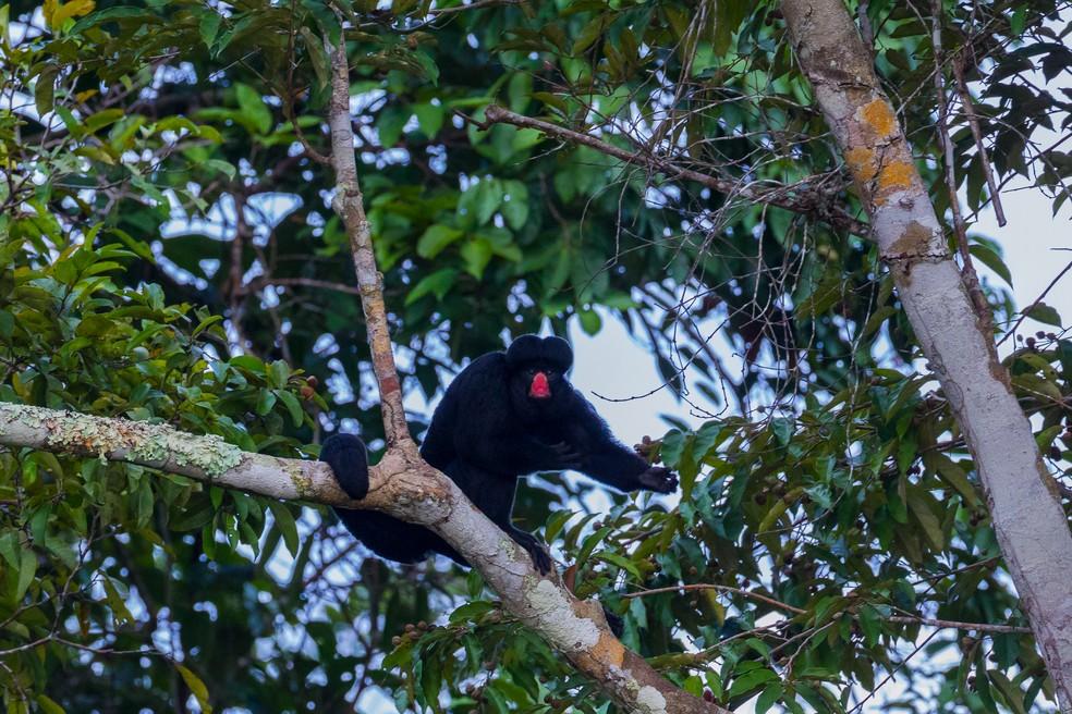 O caxiú-de-nariz-brando está ameaçado de extinção. (Foto: Marcelo Ismar Santana/VC no TG)