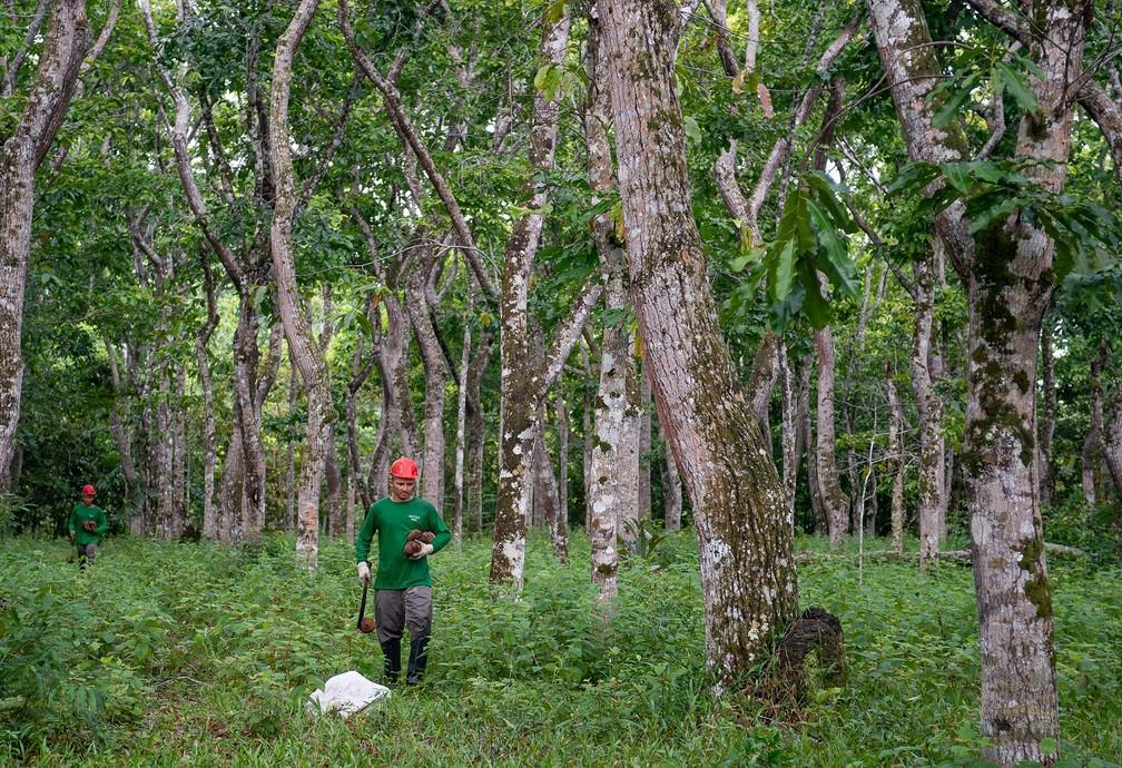 Trabalhadores coletando ouriços de castanhas no meio da propriedade do agrônomo Sérgio Vergueiro — Foto: Helen Martins/Acervo Pessoal
