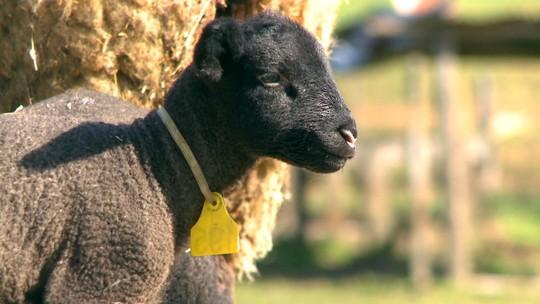 Considerado caso raro, ovelha dá à luz cinco ovelhinhas no interior do RS