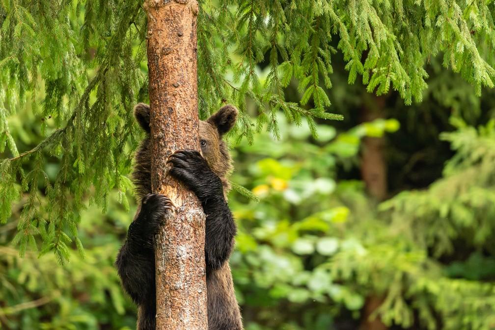 'Esconde-esconde': foto mostra um urso marrom descendo de uma árvore nas montanhas Hargita, na Romênia, que parece estar brincando de se esconder. — Foto: © Pal Marchhart  /Comedywildlifephoto.com