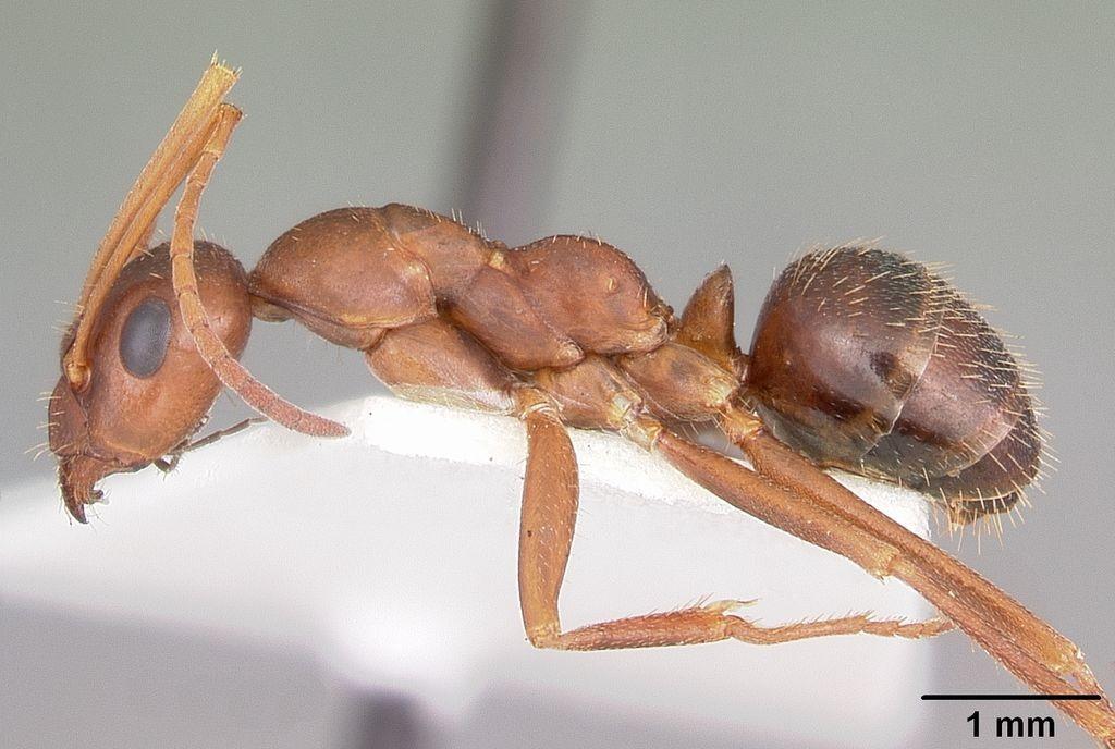 A Formica Archboldi decapita as suas adversárias e usa suas cabeças como decoração no ninho (Foto: Wikimmedia Commons / April Nobile)
