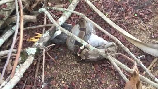 Jiboia engole galo em chácara, no DF; veja vídeo