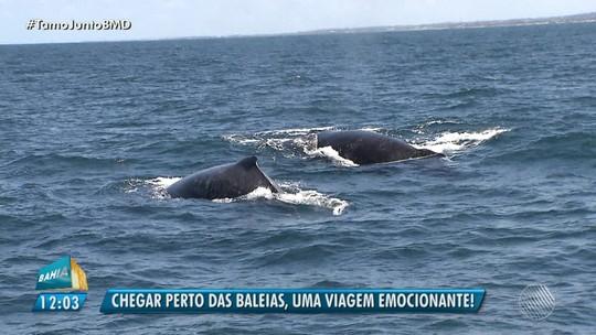 Baleias jubarte chegam ao litoral baiano na temporada de observação