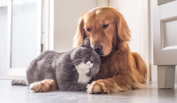 British cat and Golden Retriever (Foto: Getty Images/iStockphoto)