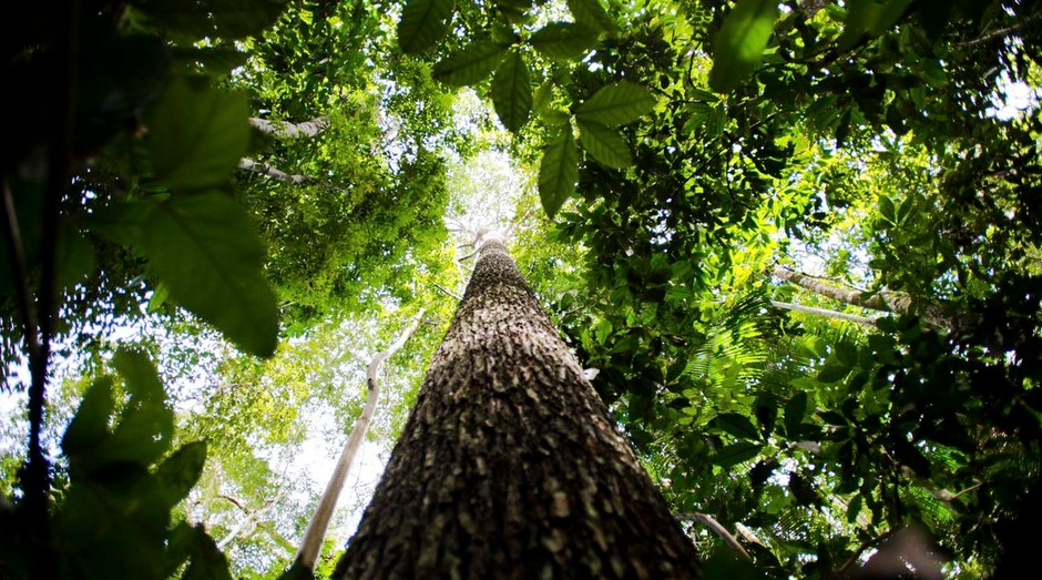 floresta, arvore (Foto: Agência Brasil)