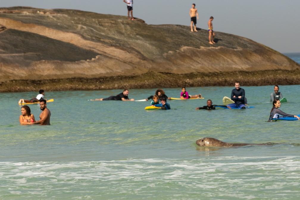 Elefante-marinho nada entre surfistas na Praia do Arpoador — Foto: Helena Barreto/Arqvuio pessoal