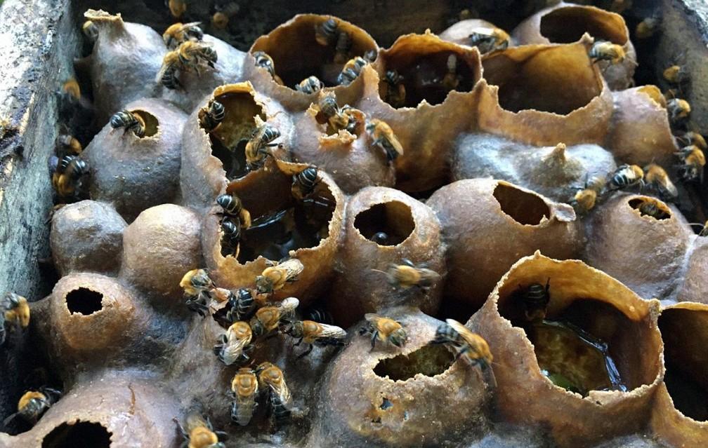 Abelhas sem ferrão no meliponário de Rogério — Foto: Rogério Marcos Alves/ Arquivo Pessoal