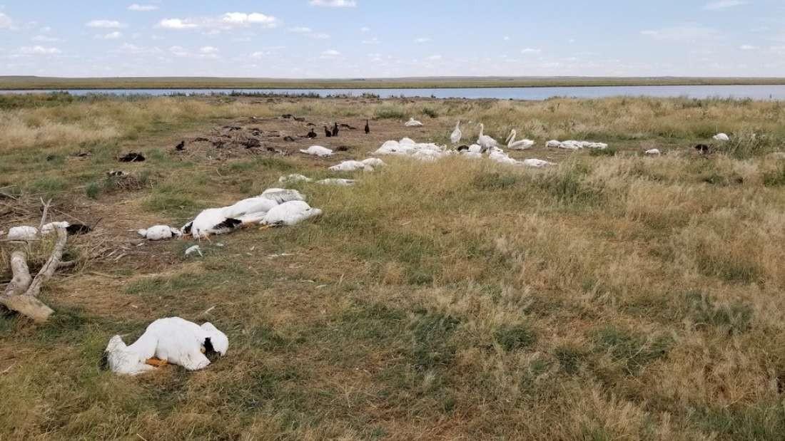 Pássaros foram encontrados mortos no estado de Montana, nos Estados Unidos (Foto: Divulgação/ Montana FWP)