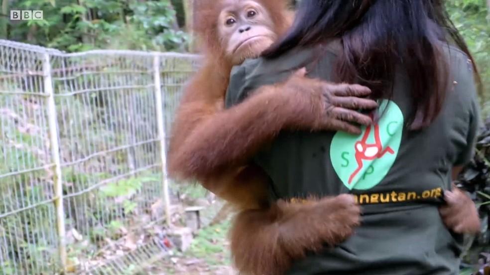 Orangotangos mantidos como animais de estimação são resgatados — Foto: BBC