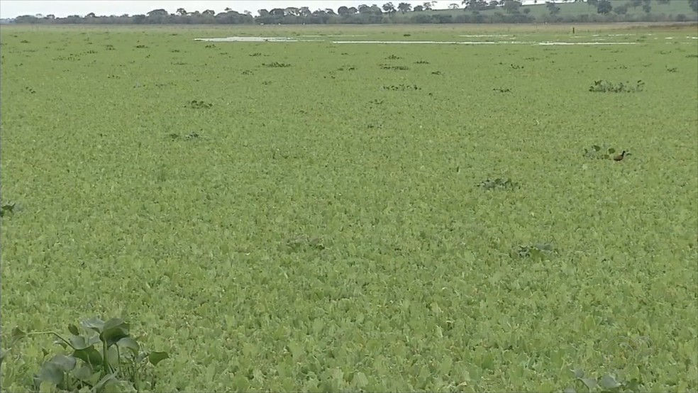 Proliferação de plantas aquáticas mudou paisagem na prainha de Cardoso  — Foto: Reprodução/TV TEM