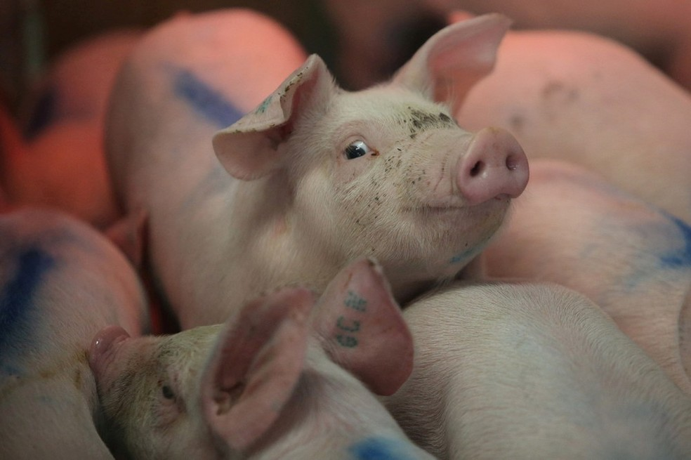 Surto de peste suína africana faz demanda por importação de carne subir na China — Foto: Edgard Garrido/Reuters/Arquivo
