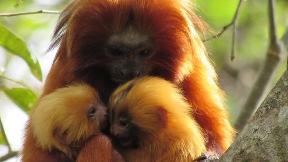 Há mais ou menos quatro décadas, mico-leão-dourado chegou próximo à extinção — Foto: DIVULGAÇÃO/AMLD/ANDRÉIA MARTINS