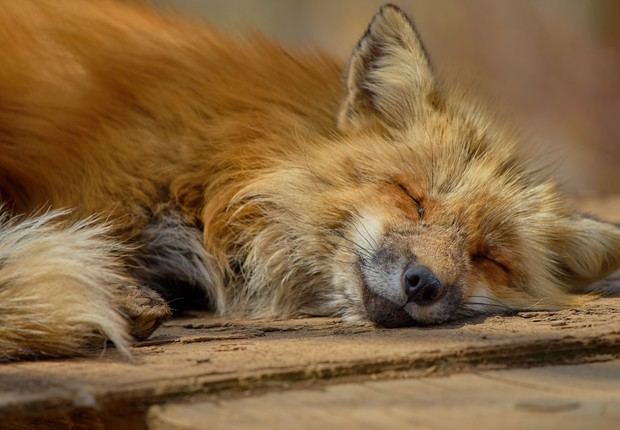raposa ; animal ; sono ; natureza (Foto: Pexels)