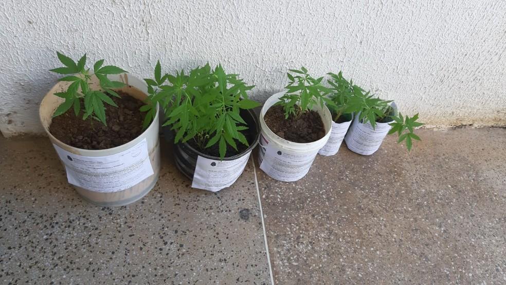 PM encontra cinco vasos com plantas de maconha em terreno abandonado no interior do Ceará — Foto: Lorena Tavares/Sistema Verdes Mares