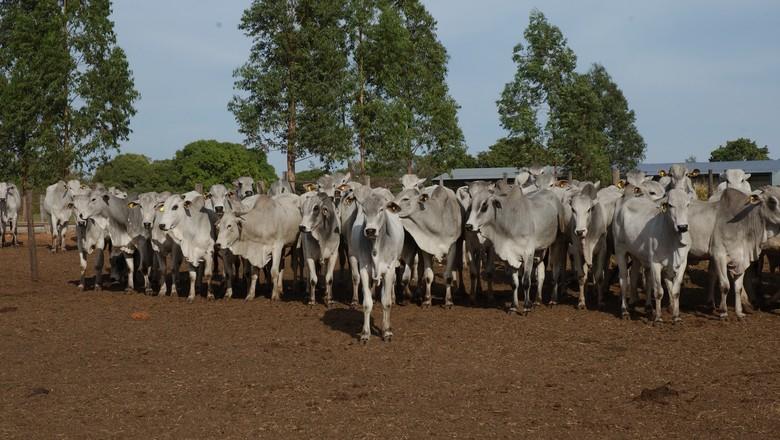 nelore-gado-boi-pecuária-bovino-pecuaria (Foto: Ernesto de Souza/ Ed. Globo)