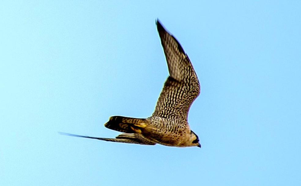 Falcão-peregrino pode atingir até 389 km/h em voo — Foto: Allisson Cafeseiro/Você no TG